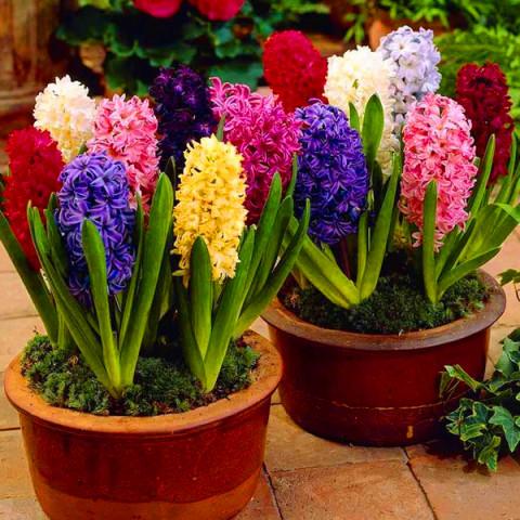 Гиацинт садовый микс