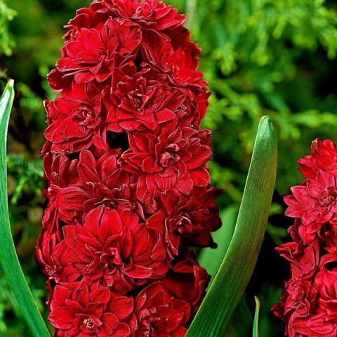 Гіацинт махровий Red Diamond