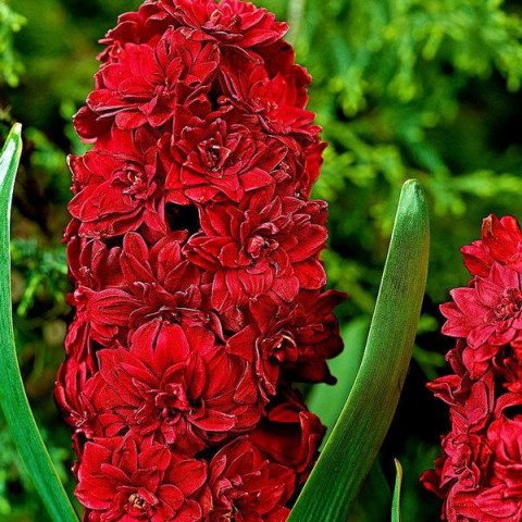 Гиацинт махровый Red Diamond