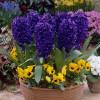 Гіацинт садовий Peter Stuyvesant