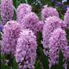 Гіацинт садовий Splendid Cornelia