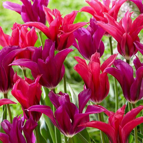 Комплект луковиц тюльпанов Цветочный Бал