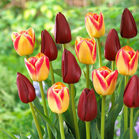 Комплект луковиц тюльпанов Грация