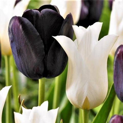 Комплект луковиц тюльпанов Инь и Янь