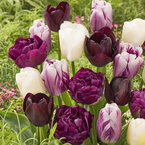Комплект луковиц тюльпанов Ягодный коктейль