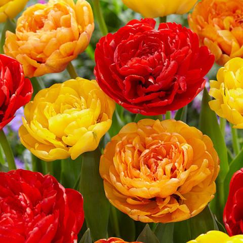 Комплект луковиц тюльпанов Яркий микс