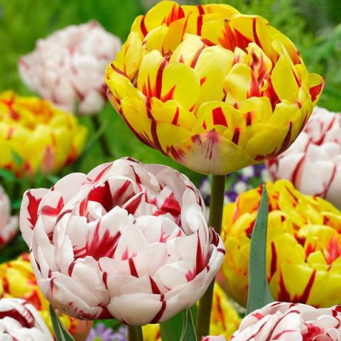Комплект луковиц тюльпанов Карнавал