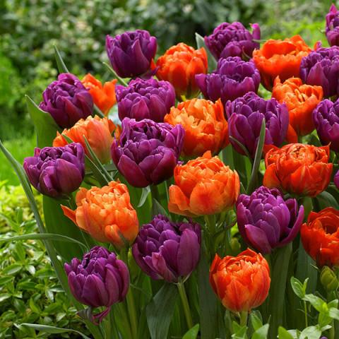 Комплект луковиц тюльпанов Королевский бархат