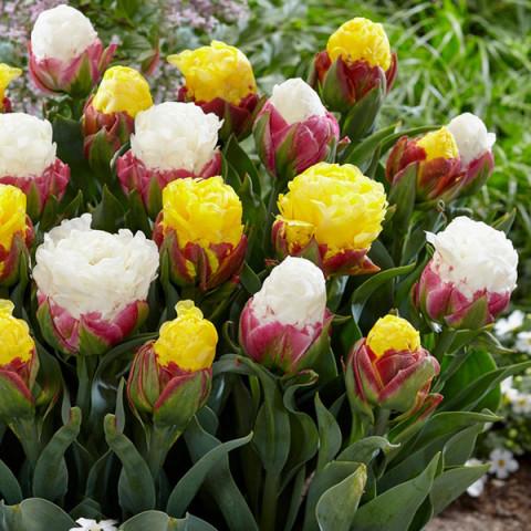 Комплект луковиц тюльпанов Мороженное цветущее