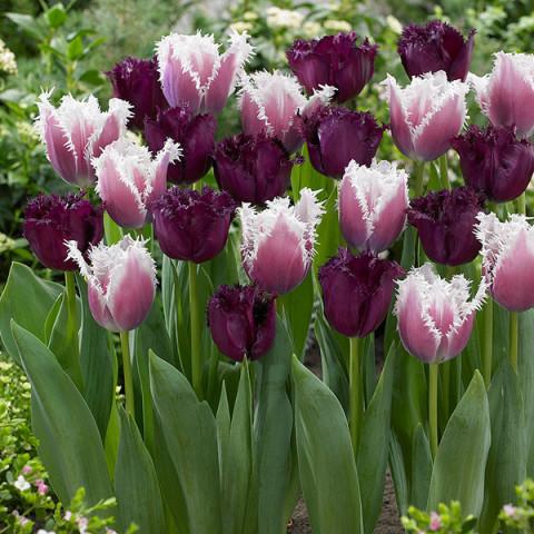 Комплект луковиц тюльпанов Нежная бахрома