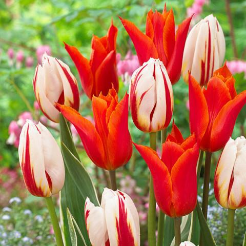 Комплект луковиц тюльпанов Счастливый талисман