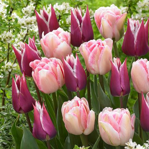 Комплект луковиц тюльпанов Танец Фокстрот