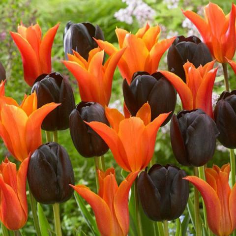 Комплект луковиц тюльпанов Вулкан