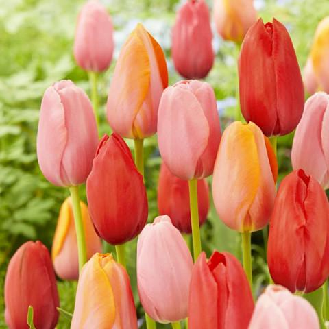 Комплект луковиц тюльпанов Первый поцелуй