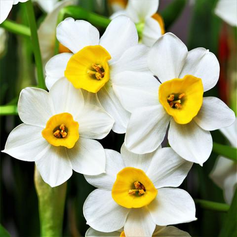 Нарцисс Многоцветковый Canaliculatus