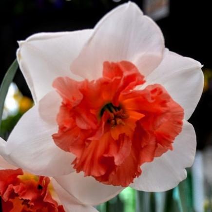 Нарцисс Корончатый Precocious