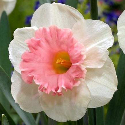 Нарцис Корончатий Rosy Sunrise