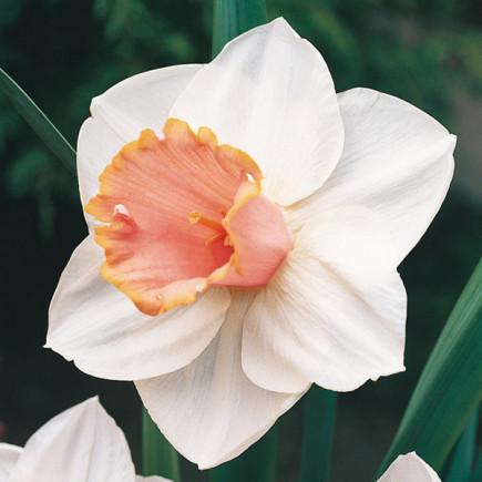 Нарцис Корончатий Salome