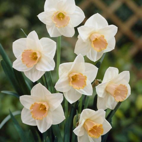 Нарцисс Корончатый Salome