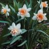 Нарцис Корончатий з махровою короною Flower Drift