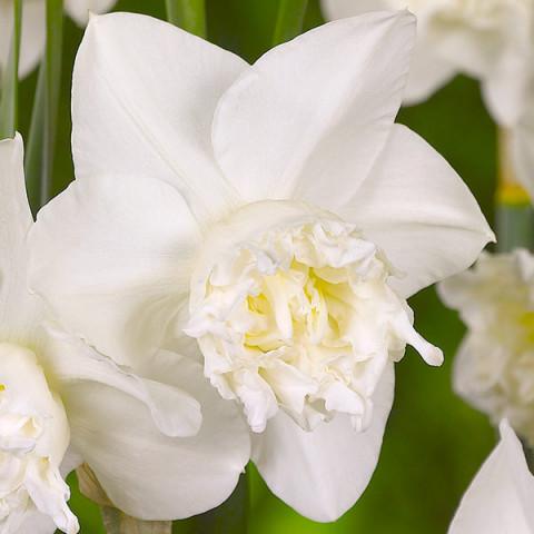 Нарцисс Корончатый с махровой короной White Marvel