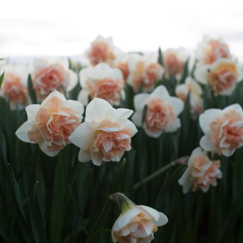 Нарцисc Махровый Flower Surprise