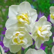Нарцисcы Многоцветковые обычные