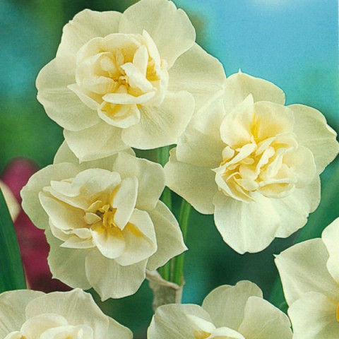 Нарцисc Многоцветковый Cherfulness