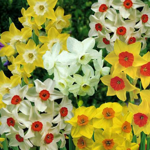 Нарцисc Многоцветковый смесь
