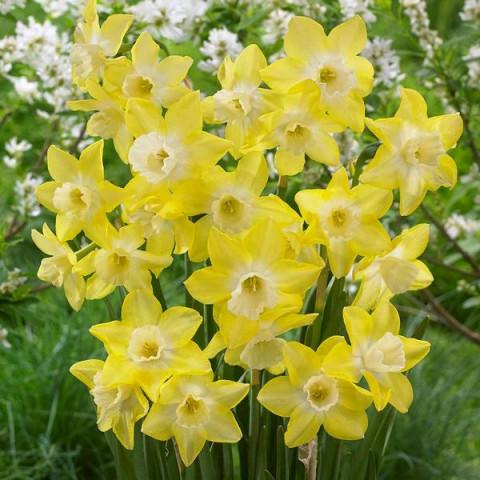 Нарцисc Многоцветковый Pipit