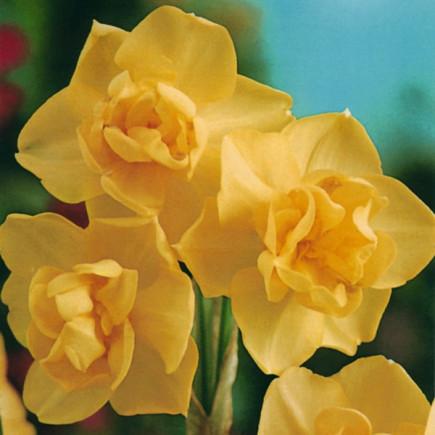 Нарцисc Многоцветковый Yellow Cherfulness