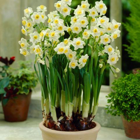 Нарцисс Мультицветковый Avalanche
