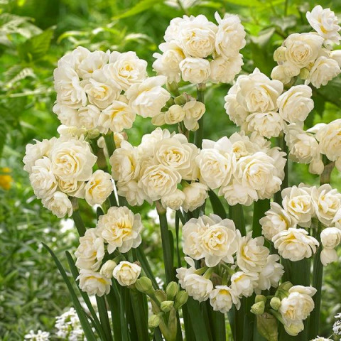 Нарцисс Мультицветковый Erlicheer