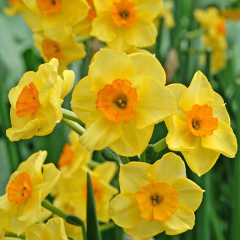 Нарцисс Многоцветковый Golden Dawn
