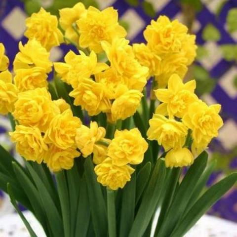 Нарцисс Мультицветковый Golden Rain