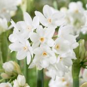 Нарциссы Мультицветковые
