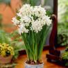 Нарцисс Мультицветковый Paperwhite