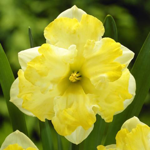 Нарцисс Split Corona Pretty in Yellow