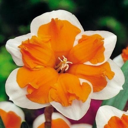 Нарцис Split Corona Orangery