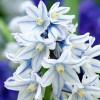 Пушкиния Blue