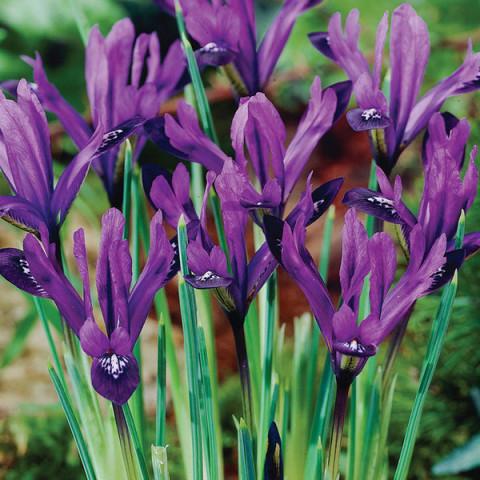 Ирис Reticulata Purple Gem