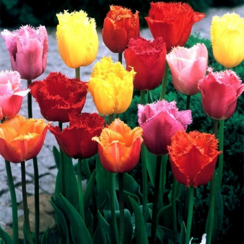 Тюльпан Оторочений суміш