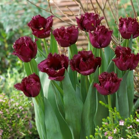 Тюльпан Бахромчатый Black Jewel