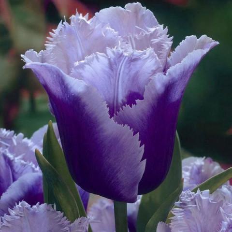 Тюльпан Бахромчатый Blue Heron