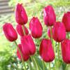 Тюльпан Бахромчатый Burgundy Lace