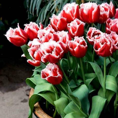 Тюльпан Бахромчатый Canasta