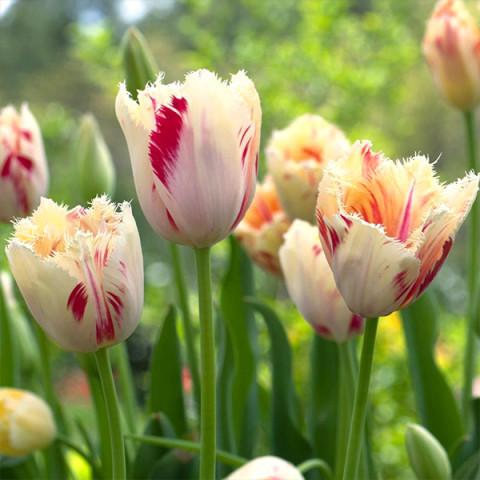 Тюльпан Бахромчатый Carrousel
