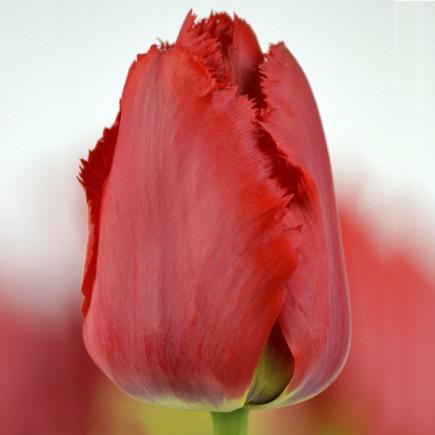 Тюльпан Оторочений Crystal Beauty