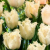 Тюльпан Бахромчатый Estafette