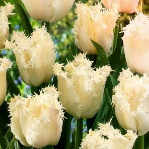 Тюльпан Оторочений Estafette
